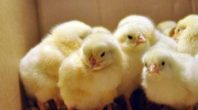 Суточные цыплята бройлер и других пород