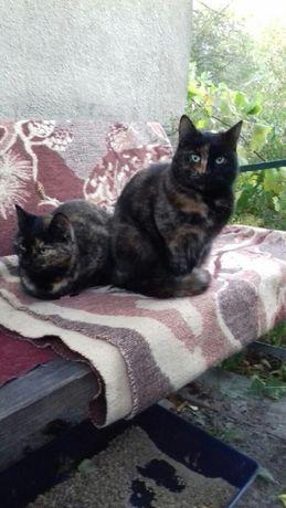 Dwie marmurkowe kotki do adopcji