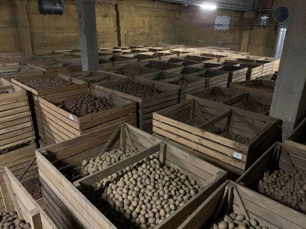Насіння картоплі від виробника IPM.Семенной картофель,картопля посадко