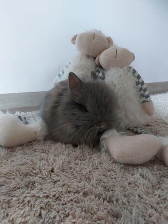 Króliczki Karzełki Teddy