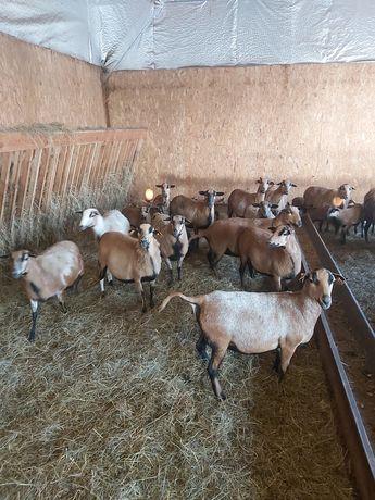 Owce Kamerunskie