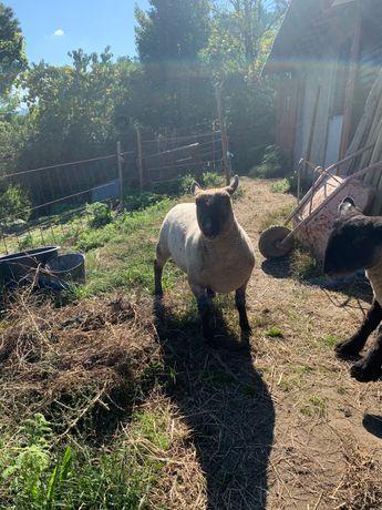 Vendo ovinos mouton vendeen
