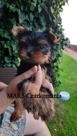 Yorkshire Terrier FCI/ZKwP piesek