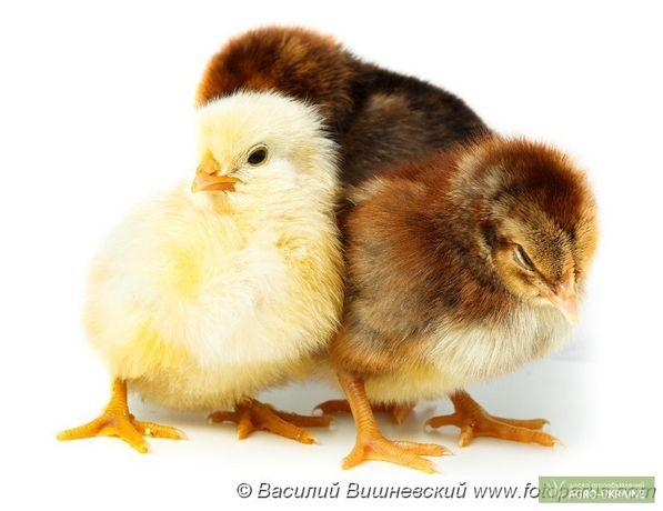 Цыплята мясо-яичные суточные Мастер Грей, Ред Бро, Испанка