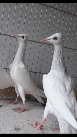 Srebrniaki perłowe samce 2021r.