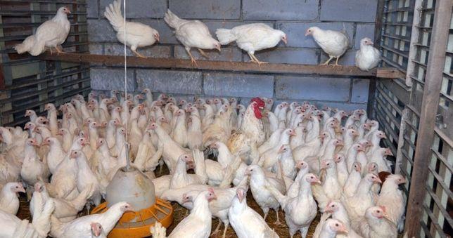 Курочки отборные  бройлер цыплята Доставка несушки молодые куры