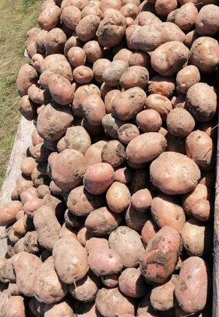 Bella Rosa Ziemniaki Kartofle z własnego pola