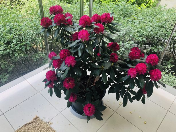 Rododendron , kwiaty