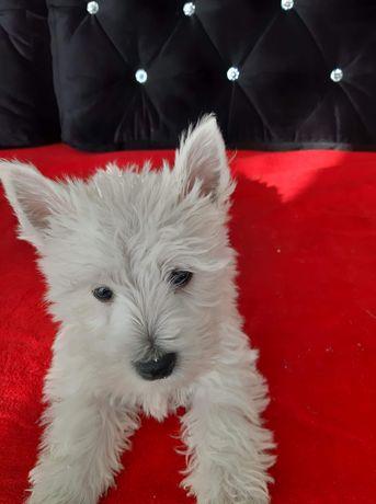West Higlland White Terrier