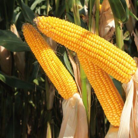 Kukurydza Fortop HR Smolice Fao 230 50 tysiecy nasion
