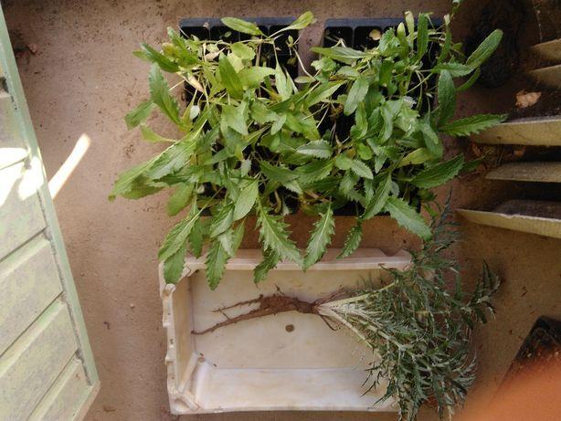 Planta Cardo (Cynara Cardunculus)