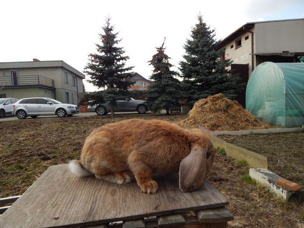 Sprzedam królika Samca Barana Francuskiego rudy