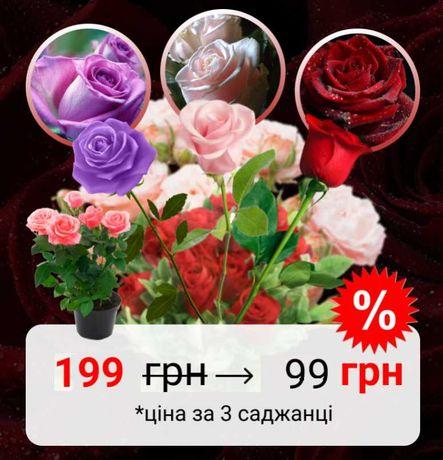 МЕЧТА дачника! Штамбові троянди саджанці Штамбовые розы саженцы купить