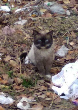 Сиамские котики ищут дом