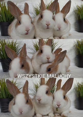 Króliki / króliczki / królik miniaturka