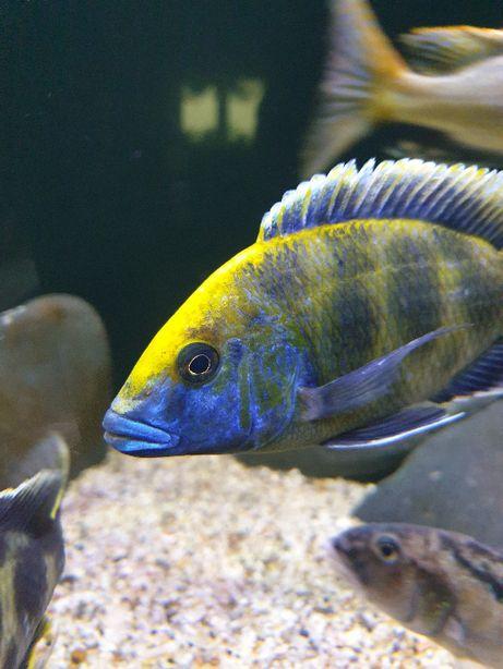 Pyszczak Nimbochromis venustus 8-10 cm
