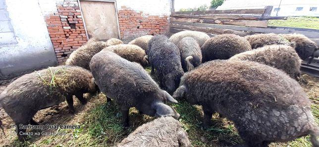 """Продам свині """"Венгерська мангалиця"""" Від 1000 грн. Є свиноматки"""