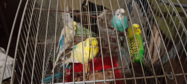 +380505066048 Продам волнистых попугаев