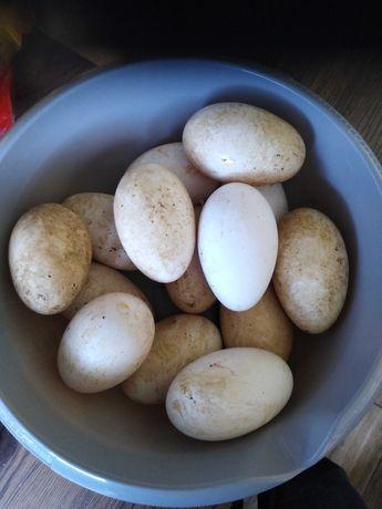 Sprzedam jaja lęgowe gęsi garbonosa