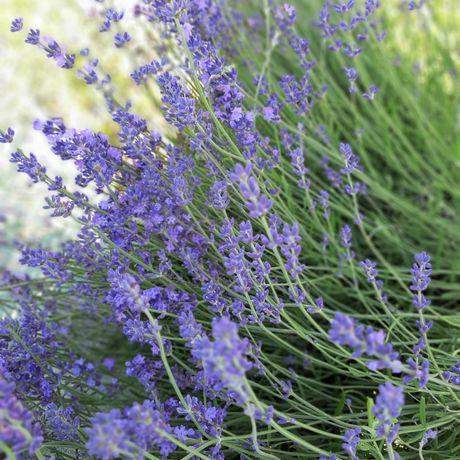 Сухоцвет английской лаванды и свежая лаванда
