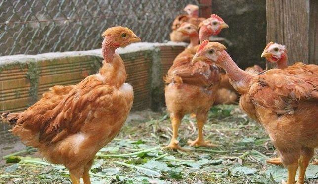 Інкубаційне яйце голошийка Венгрія