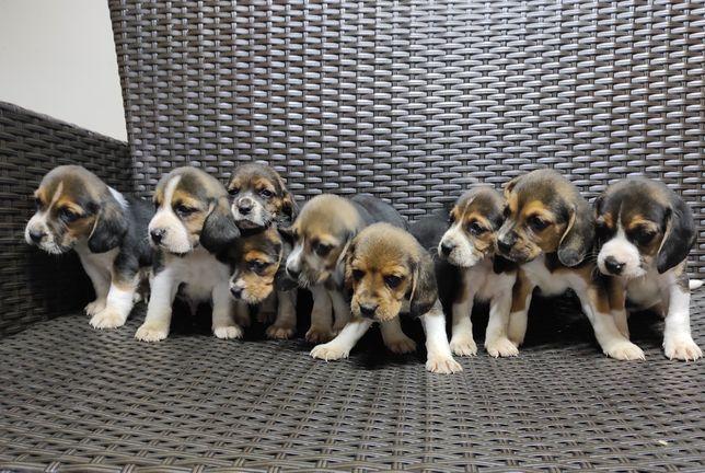 Beagle - szczeniaczki