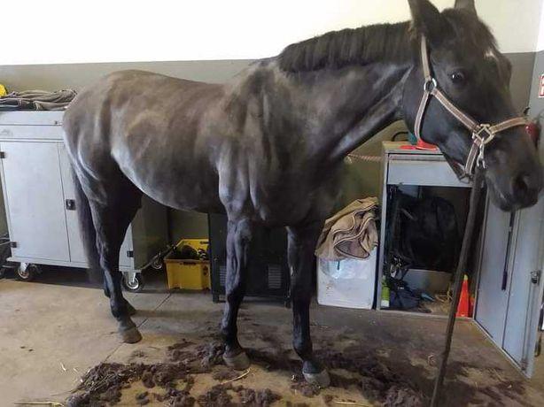 Golenie koni, wzorki