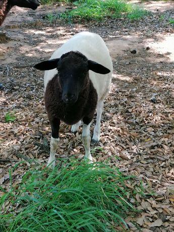 Oportunidade ovelhas, borregos e cabras