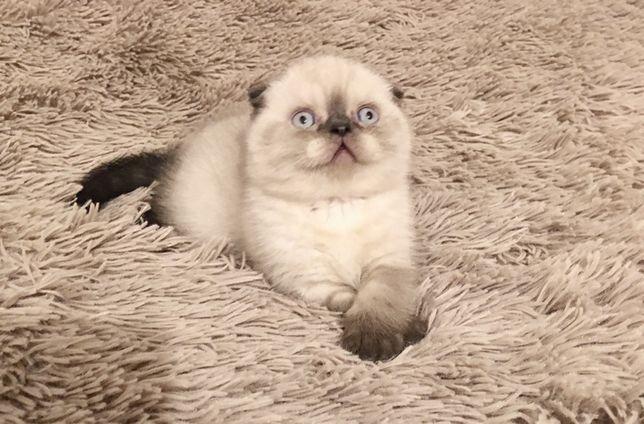 Шотландский вислоухий котик,скотиш фолд,поинт