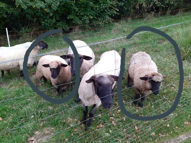 Sprzedam owieczki
