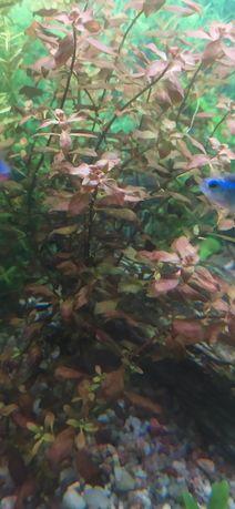 Ludwigia Roślinka z przycinki