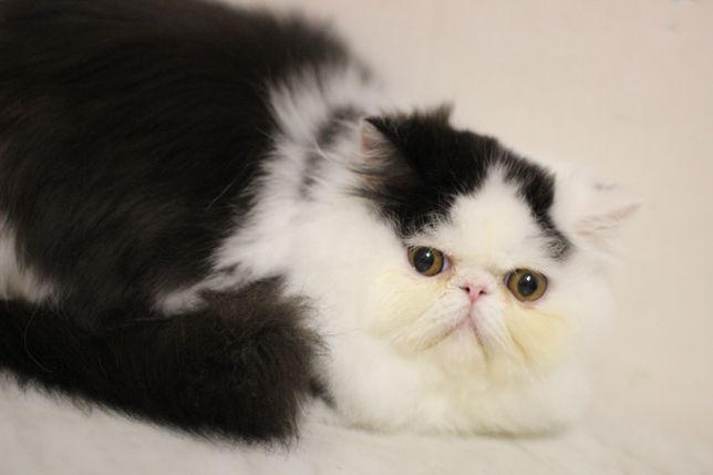 Очаровательный персидский котик