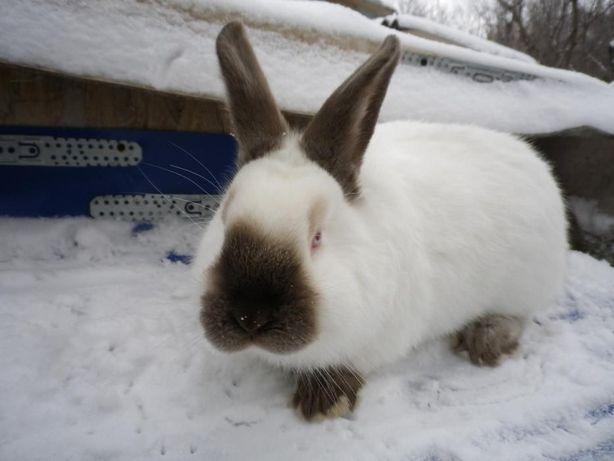 Калифорнийские ,бургундские кролики