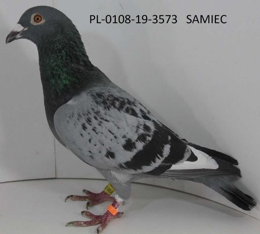 Gołębie pocztowe-likwidacja