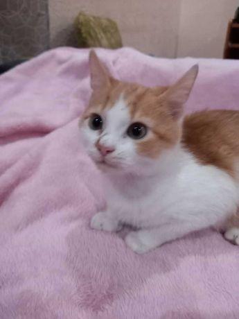 Продам котенка (аравийский Мао)