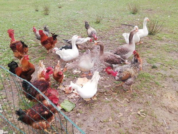 Vendo casais de patos gansos