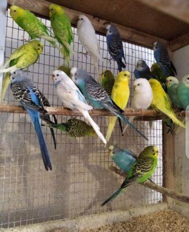 Волнистые попугаи по 140рн