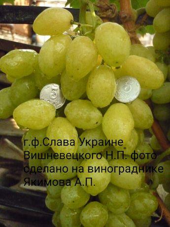 Саженцы и черенки винограда селекции Вишневецкого Н.П.(Слава Украине )