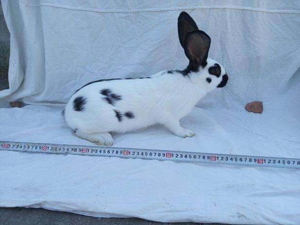 Кролики  Строкачі