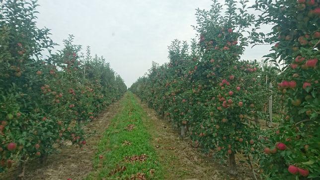 Sad jabłoniowy 1,70ha