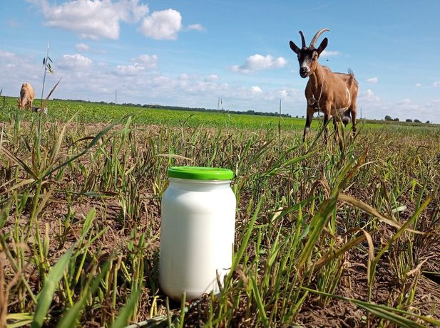 Mleko kozie, sery, jogurty naturalne