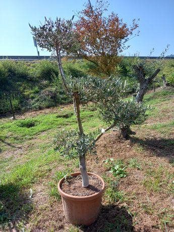 Oliveiras em Liquidação! / Plantas / Árvores / Jardim