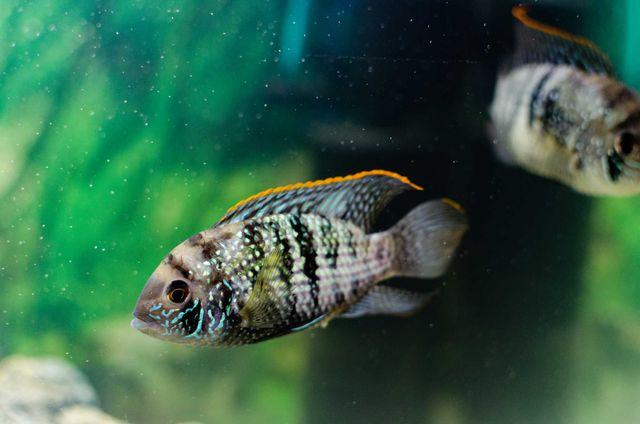 Akara Błękitna parka - rybki akwarium Pielęgnica Niebieskołuska