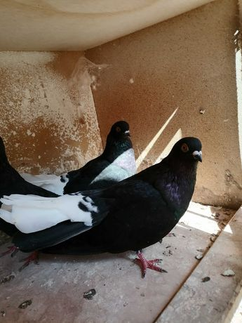 Gołębie ozdobne różne Polecam