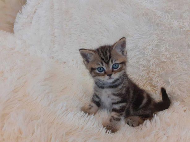 Шотландские котятя