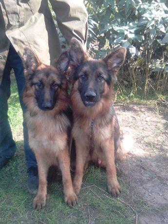 Подрощенные длинношерстные щенки немецкой овчарки .