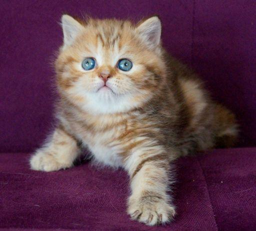 Karolina- прямоухая черепаховая шотландская кошка.