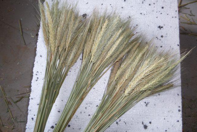 susz naturalny żyto, owies, pszenica, jęczmień zielony na palmy