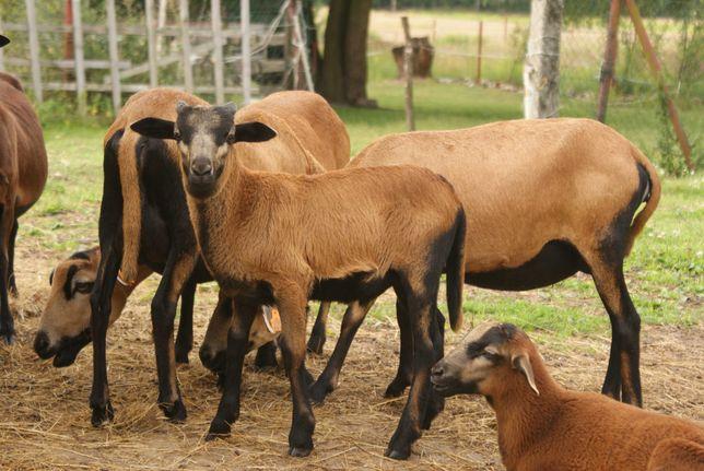 owce, baranki, kameruńskie, barbados,