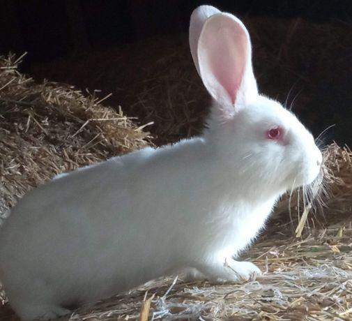 Sprzedam termondzkie króliki w różnym wieku